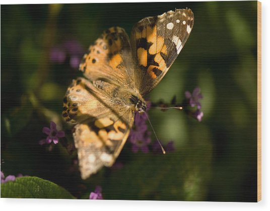 A Painted Lady Butterfly At The Lincoln Wood Print