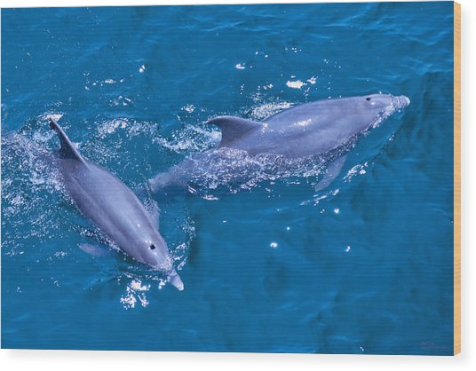A Pair Of Dolphins Wood Print by Bill Perry