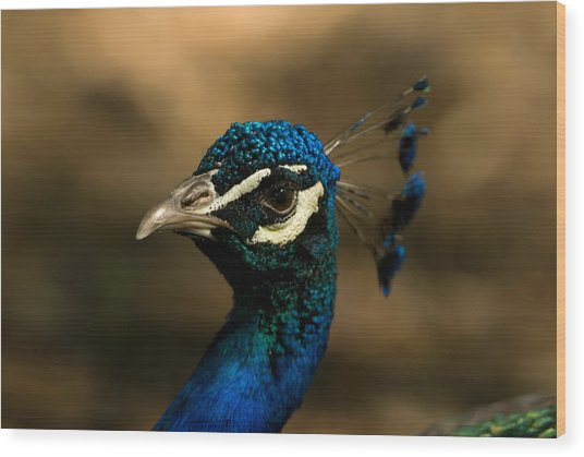 A Peacock At The Lincoln Childrens Zoo Wood Print