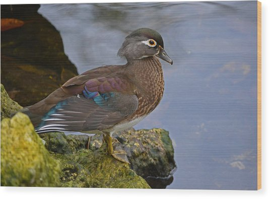 A Pretty Female Painted Wood Duck Wood Print