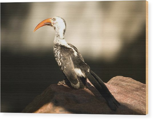 A Red-billed Hornbill At The Lincoln Wood Print