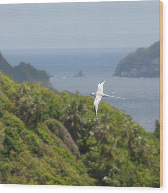 A Red-billed Tropicbird (phaethon Wood Print