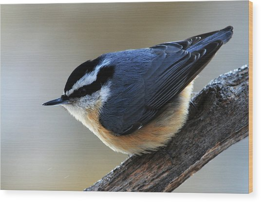 A Red-breasted Nuthatch Wood Print
