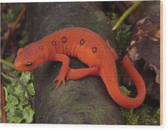 A Red Eft Crawls On The Forest Floor Wood Print