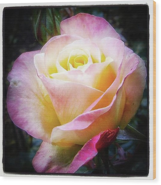 A Rose Is A Rose Is A Rose, Variation Wood Print by Mr Photojimsf
