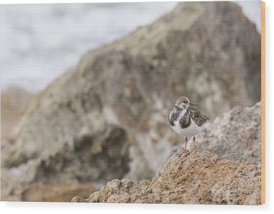 A Ruddy Turnstone Perched On The Rocks Wood Print