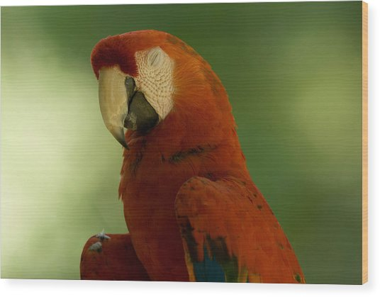A Scarlet Macaw At The Lincoln Wood Print