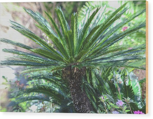 Wood Print featuring the photograph A Shady Palm Tree by Raphael Lopez