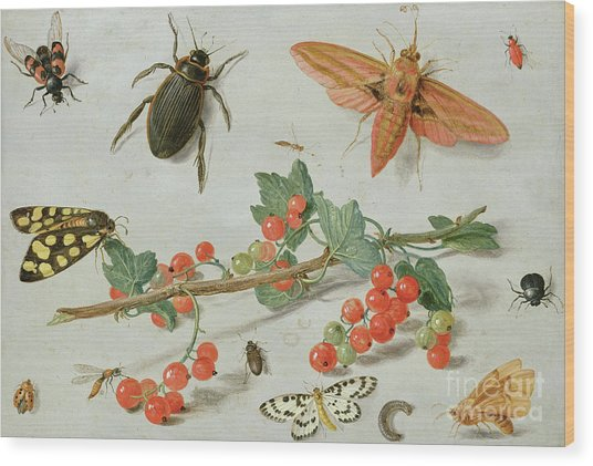 A Sprig Of Redcurrants With An Elephant Hawk Moth, A Magpie Moth And Other Insects, 1657 Wood Print