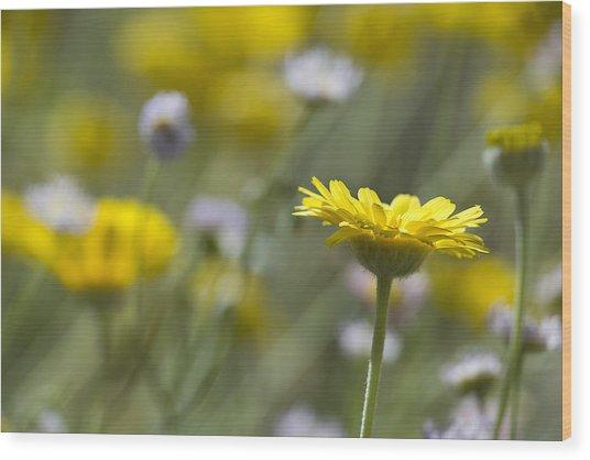 A Spring Daisy Wood Print