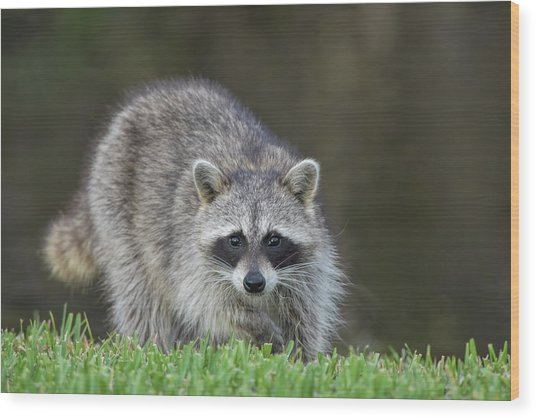 A Surprised Raccoon Wood Print