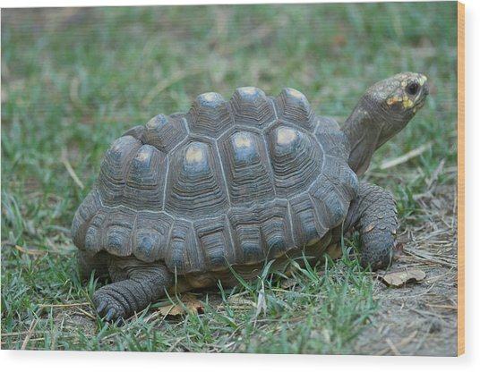 A Tortoise At The Lincoln Childrens Zoo Wood Print