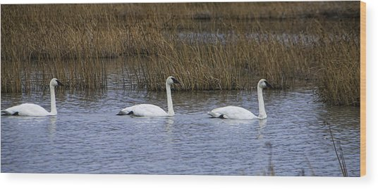A Trio Of Swans Wood Print