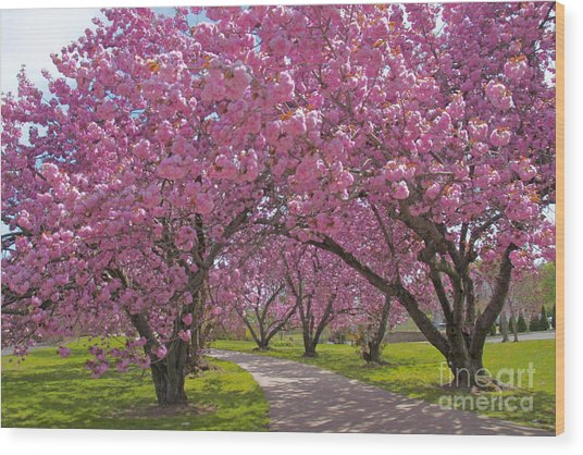 A Walk Down Cherry Blossom Lane Wood Print