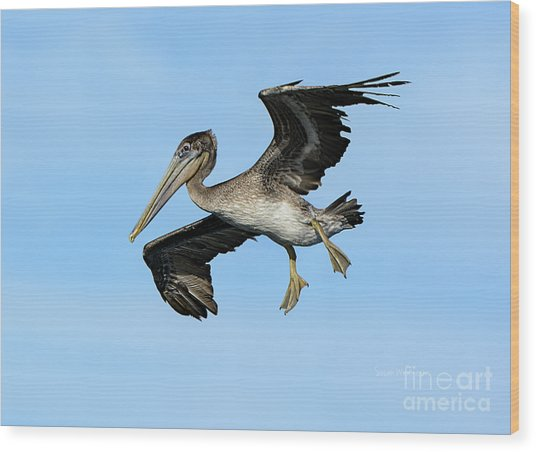 A Young Brown Pelican Flying Wood Print