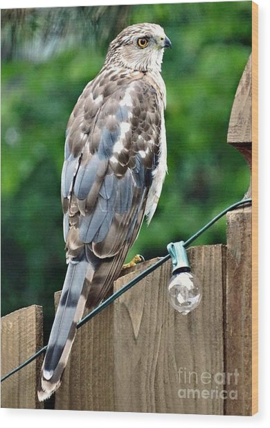 A Young Coopers Hawk  Wood Print