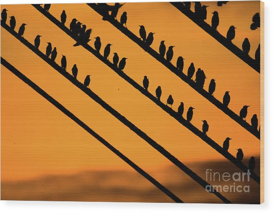 Aberystwyth Starlings At Dusk Wood Print