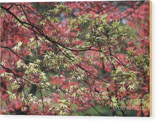 Acer Leaves In Spring Wood Print