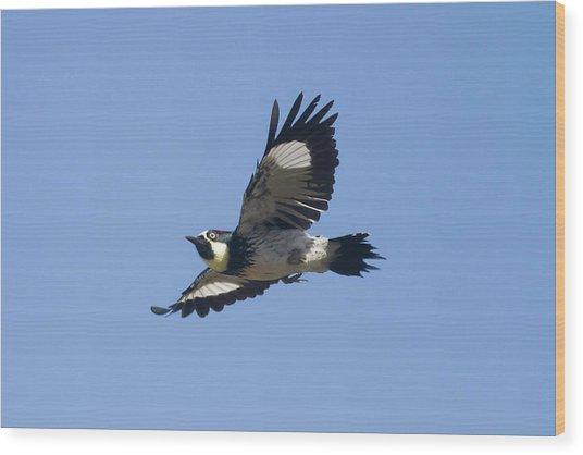 Acorn Woodpecker Wood Print