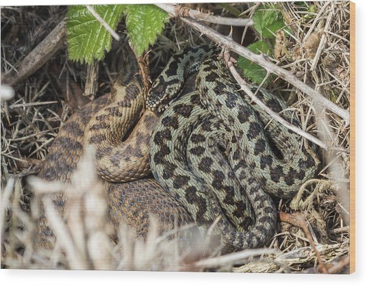 Adder Pair Wood Print