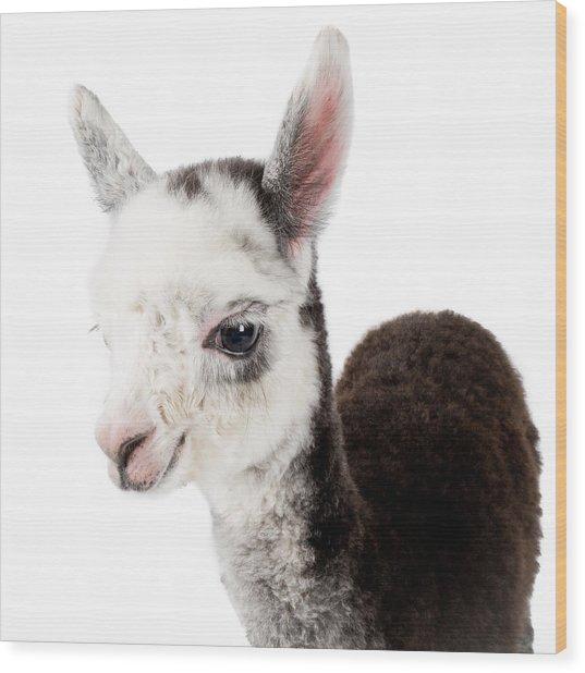 Adorable Baby Alpaca Cuteness Wood Print