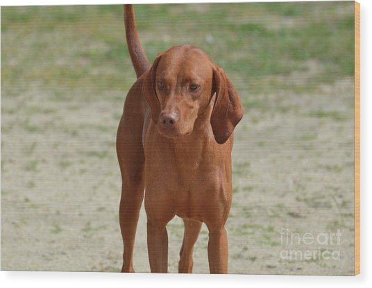 Adorable Redbone Coonhound Standing Alone Wood Print