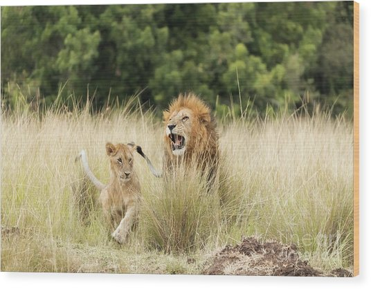 Adult Lion And Cub In The Masai Mara Wood Print