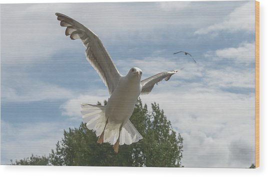 Adult Seagull In Flight Wood Print