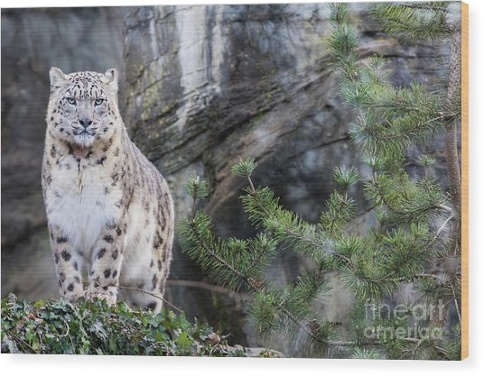 Adult Snow Leopard Standing On Rocky Ledge Wood Print