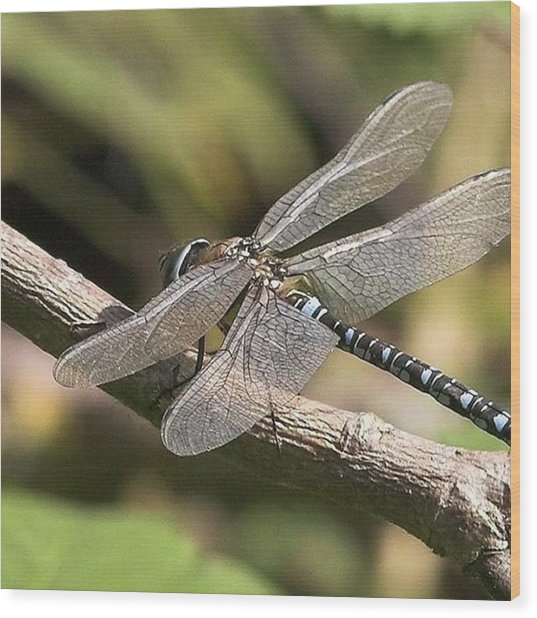 Aeshna Juncea - Common Hawker Taken At Wood Print