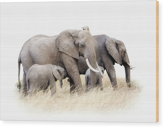 African Elephant Group Isolated Wood Print
