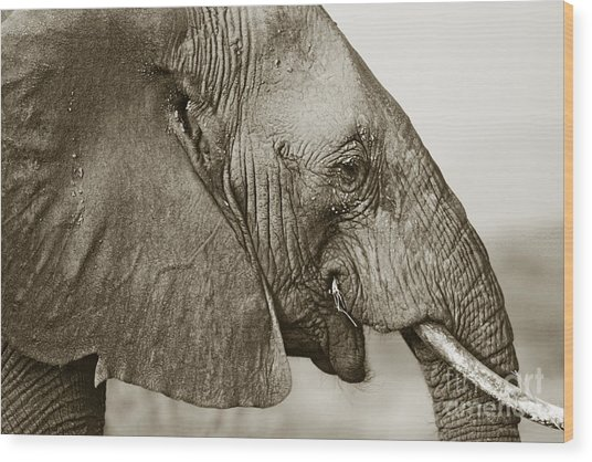 African Elephant Profile  Duotoned Wood Print