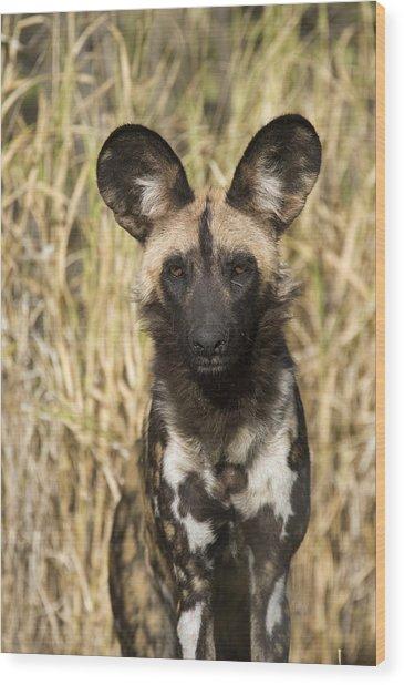 Wood Print featuring the photograph African Wild Dog Okavango Delta Botswana by Suzi Eszterhas