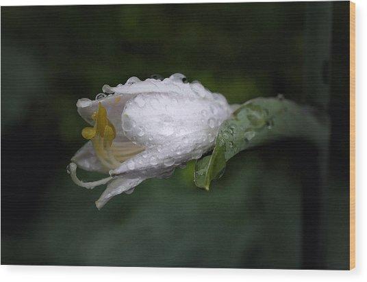 After The Rain - Hosta Macro Wood Print