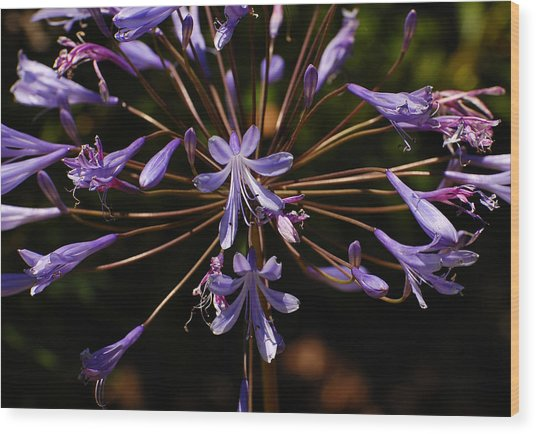 Agapanthus Burst Wood Print by Jean Booth