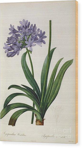 Agapanthus Umbrellatus Wood Print