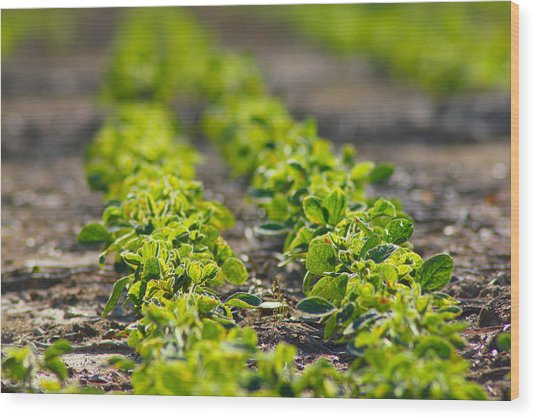 Agriculture- Soybeans 1 Wood Print