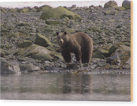 Alaskan Brown Bear Dining On Mollusks Wood Print
