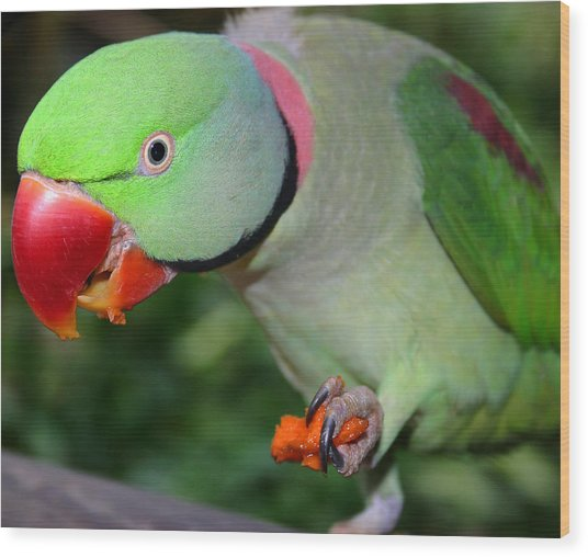 Alexandrine Parrot Feeding Wood Print by PIXELS  XPOSED Ralph A Ledergerber Photography