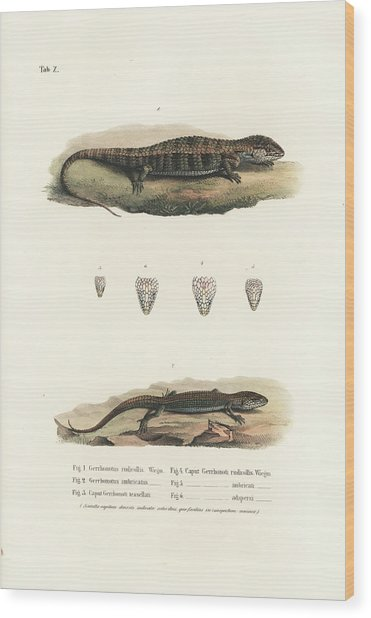 Alligator Lizards From Mexico Wood Print