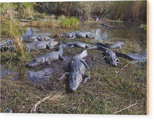 Alligators 280 Wood Print
