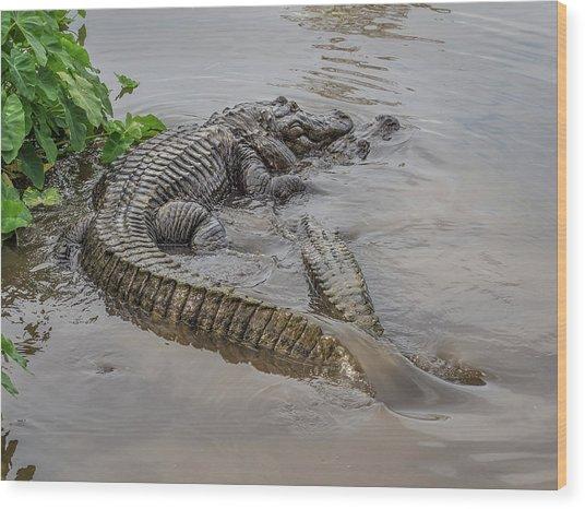 Alligators Courting Wood Print