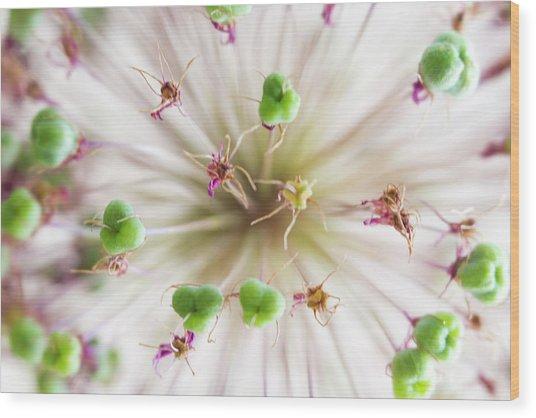 Allium Zoom Wood Print