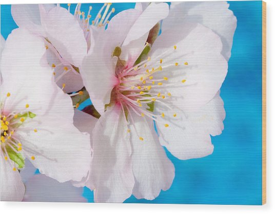 Almond Tree Blossoms Wood Print