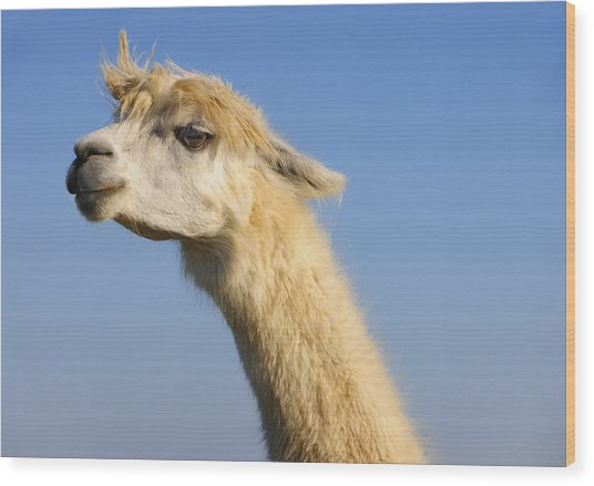 Wood Print featuring the photograph Alpaca by Skip Hunt