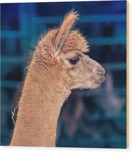 Alpaca Wants To Meet You Wood Print
