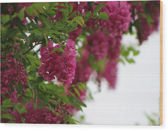Amaranth Pink Flowering Locust Tree In Spring Rain Wood Print