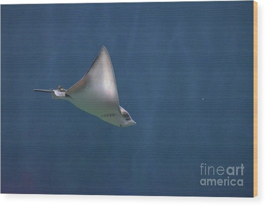 Amazing Stingray Underwater In The Deep Blue Sea  Wood Print