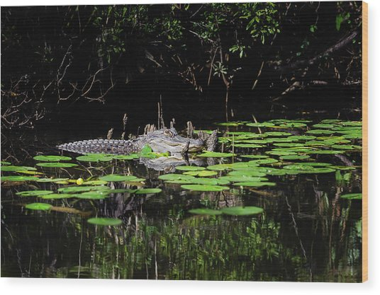 American Alligator In South Walton Florida Wood Print
