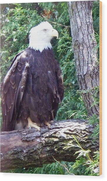 American Bald Eagle Wood Print by Emily Kelley